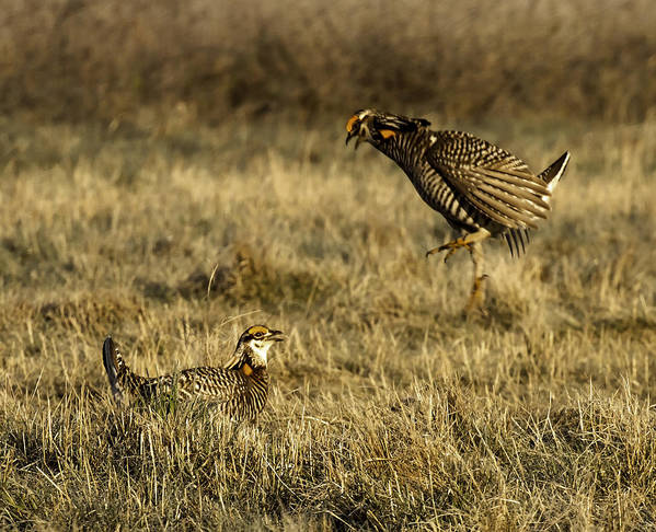 Wisconsin Prairie Chickens Art Print featuring the photograph Intimidating Jump by Thomas Young