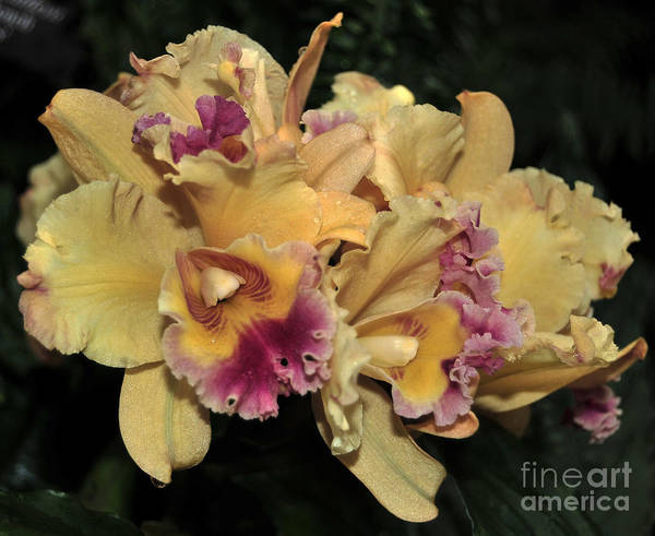 Orchid Art Print featuring the photograph Laeliocattleya Lydia Hubbell by Terri Winkler
