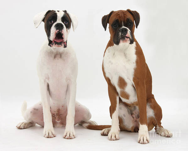 Nature Art Print featuring the photograph Male Boxer With Female Boxer Dog by Mark Taylor