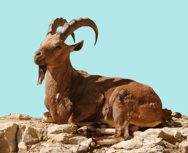 nubian Ibex' Art Print featuring the photograph Nubian Ibex by DiDi Higginbotham