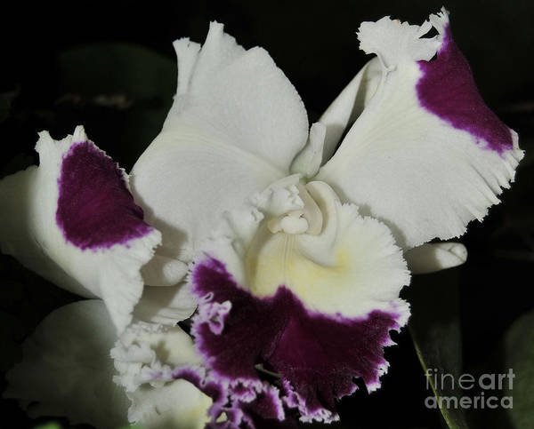 Orchid Art Print featuring the photograph orchid 221 Cattleya Moscombe 'The King' 1 of 3 by Terri Winkler