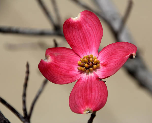 Blossom Art Print featuring the photograph Pink Dogwood 5 by Carolyn Fletcher