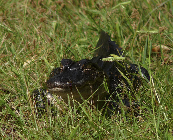 Alligator Art Print featuring the photograph Staring Alligator. Melbourne Shores. by Chris Kusik