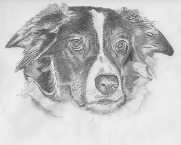 Border Collie Print featuring the drawing Welsh Border Collie by Catherine Roberts