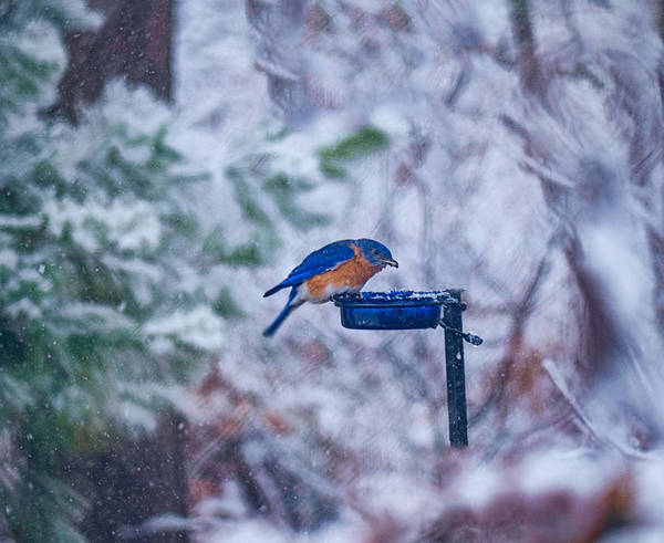 Bluebird Art Print featuring the photograph Where Did Spring Go by David Kay