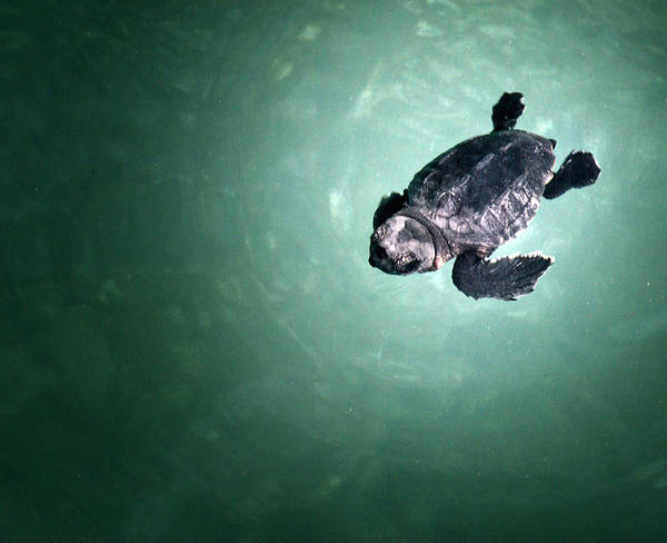 Horizontal Art Print featuring the photograph Baby Sea Turtle by Spinool - Bergen op Zoom