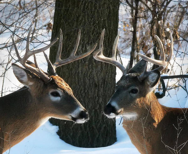 Deer Art Print featuring the photograph Friends Or Maybe Not by Clare VanderVeen