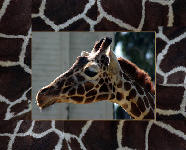 Animals Art Print featuring the photograph Matted Giraffe by Tony and Kristi Middleton