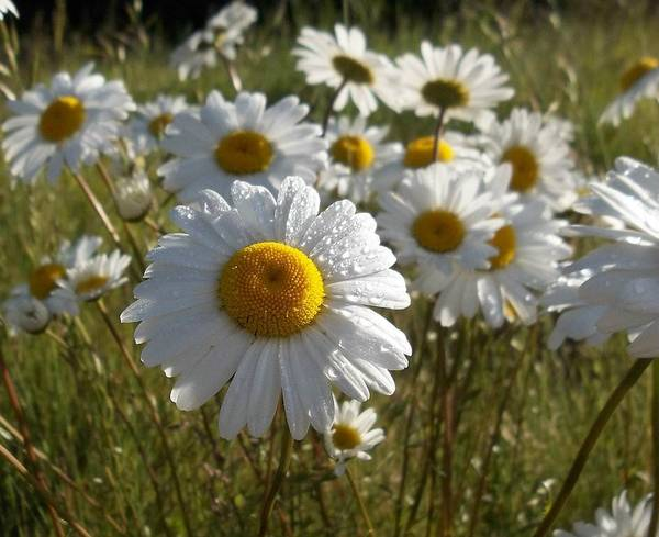 Daisy Art Print featuring the photograph Refreshed by Pamela Roberts-Aue