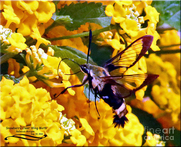 Snowberry Art Print featuring the photograph Snowberry Clearwing Hummingbird Moth by Rebecca Morgan