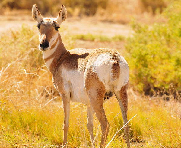 Pronghorn Art Print featuring the photograph Wyoming Pronghorn by Anna Sullivan