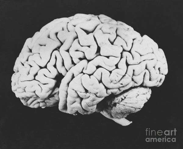 Brain Art Print featuring the photograph Human Brain by Omikron