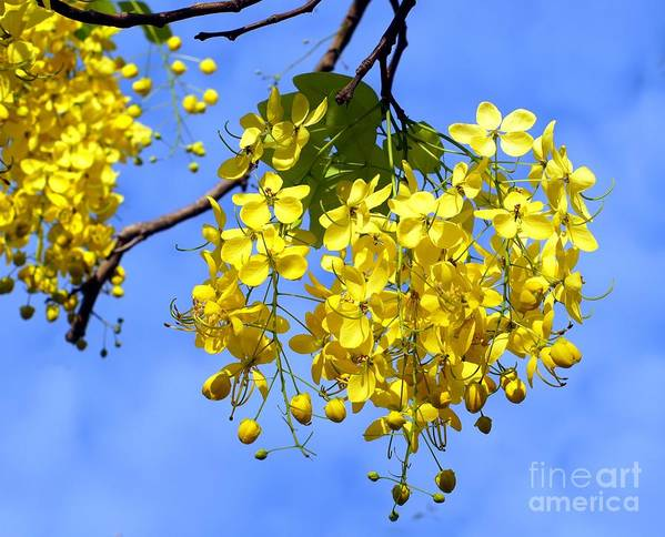 Blossoms Art Print featuring the photograph Blossoms Of The Golden Chain Tree by Yali Shi