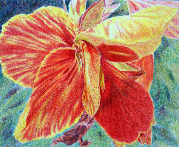 Canna Lily Art Print featuring the drawing Canna Lily by Tina Storey