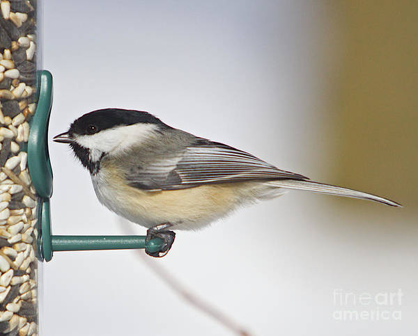 Additional Tags: Art Print featuring the photograph Chickadee-4 by Robert Pearson