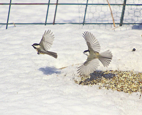 Additional Tags: Print featuring the photograph Chickadee-6 by Robert Pearson