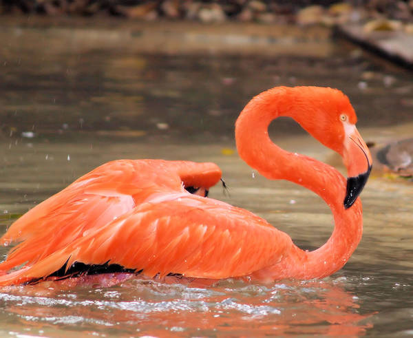 Flamingo Art Print featuring the photograph Flamingo by Gaby Swanson