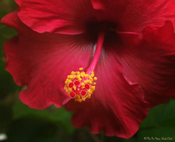 Hibiscus Flower Flowers Plants Blooms Garden Floral Art Print featuring the photograph Hibiscus by Linda Ebarb