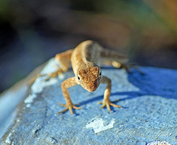 Anole Art Print featuring the photograph Mini Attitude by Kenneth Albin