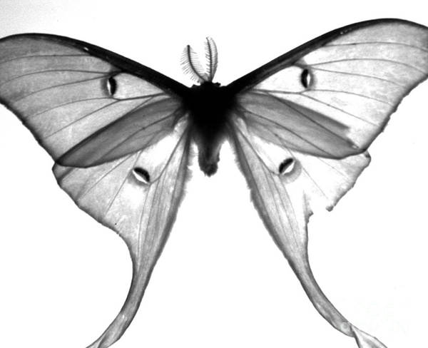 Moth Art Print featuring the photograph Moth by Amanda Barcon