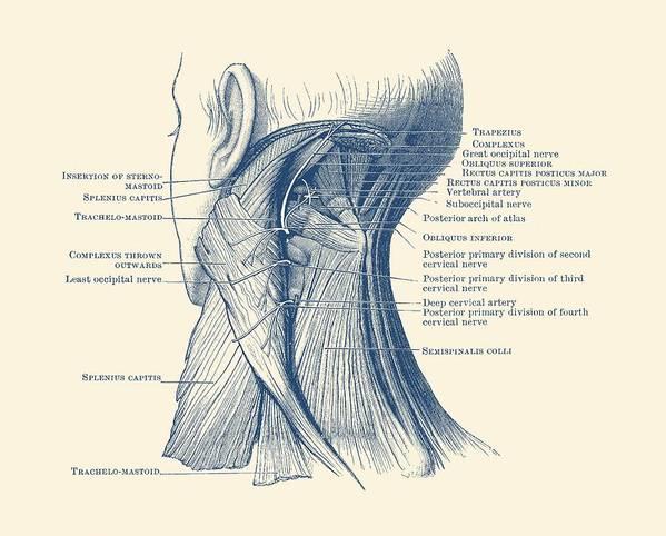 Neck Muscular System Diagram Vintage Anatomy Art Print By Vintage