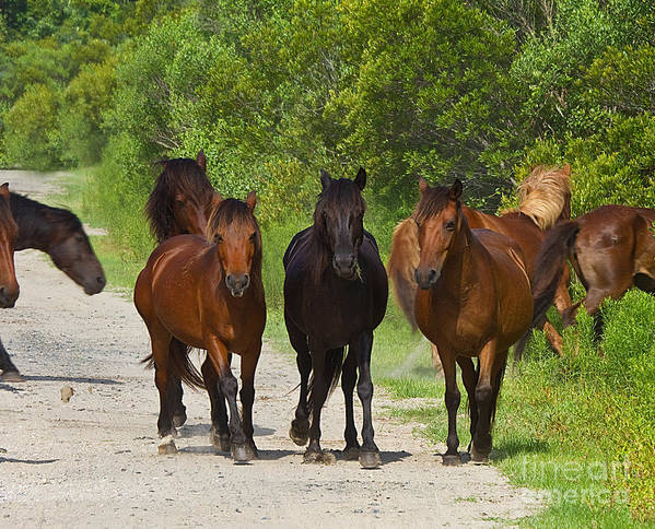 Wild Horses Art Print featuring the photograph Wild Horses Of Corolla by Crystal Garner