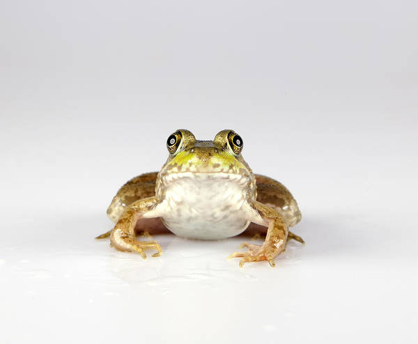 Frog Art Print featuring the photograph What You Looking At? by John Crothers