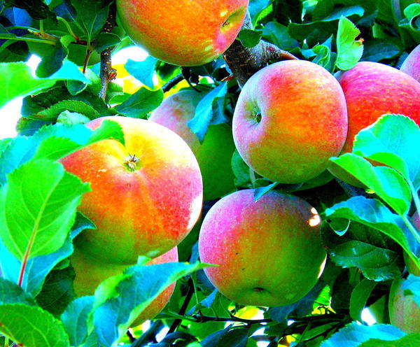 Apples Art Print featuring the photograph An Apple A Day by Kay Gilley