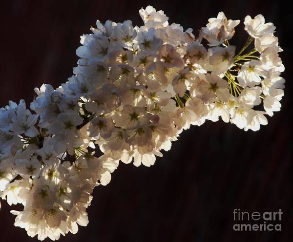 White Blossoms Apples Blossoms Back Lit Black Background Greeting Card Birthday Card Wedding Card The Light That Grazes This Apple Blossom Highlights The Delicate Nature Of This Short Lived Beauty. Art Print featuring the photograph Apple Blossom by Marcus Dagan
