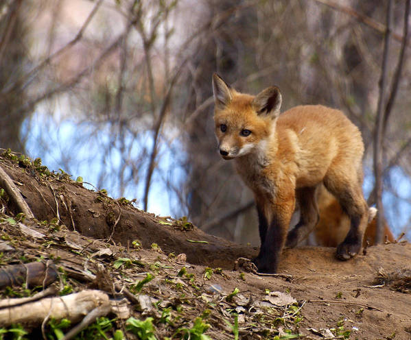 Fox Art Print featuring the photograph Going To The Den by Thomas Young