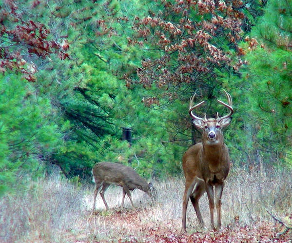 Whitetail Art Print featuring the photograph The King by Thomas Young