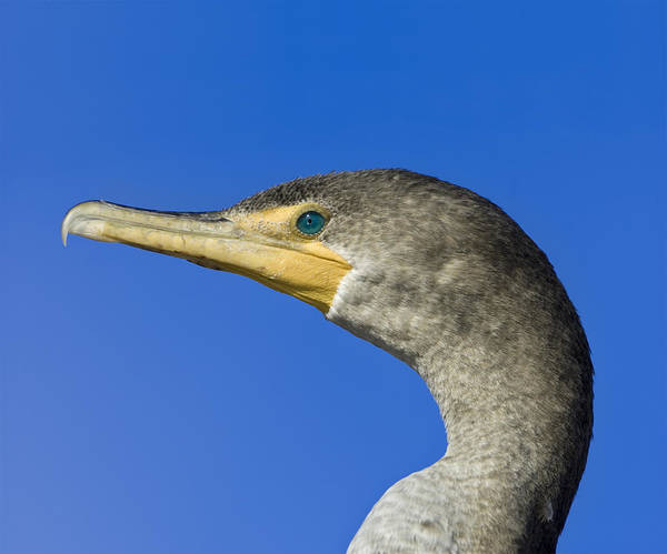 Double Art Print featuring the photograph Double Crested Cormorant by Patrick M Lynch