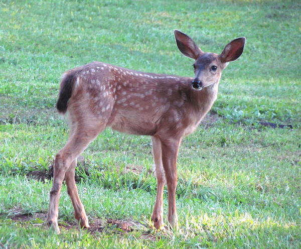 Deer Art Print featuring the photograph Blacktail Fawn Portrait by Angie Vogel