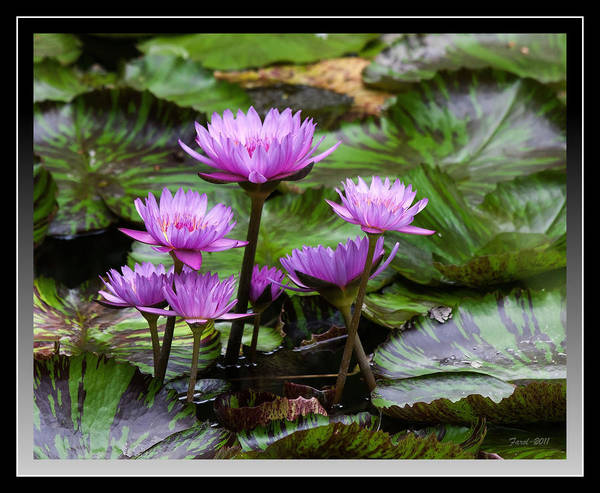Water Art Print featuring the photograph Blue Tropical Water Lilies by Farol Tomson