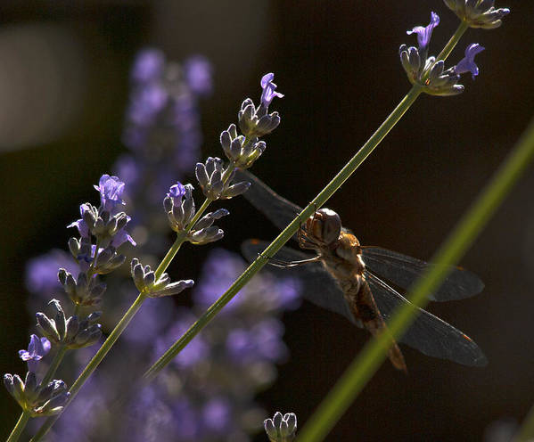 Lavender Art Print featuring the photograph Hanging In The Lavender by Joe Schofield