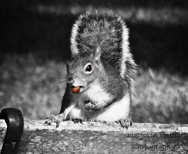 Squirrel Art Print featuring the photograph I'm A Nut Black And White by Marjorie Smith
