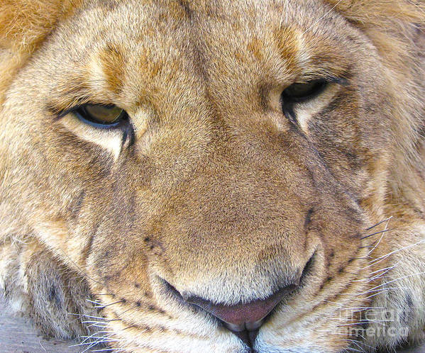 Lion Photographs Art Print featuring the photograph No Worries by Joanne Kocwin