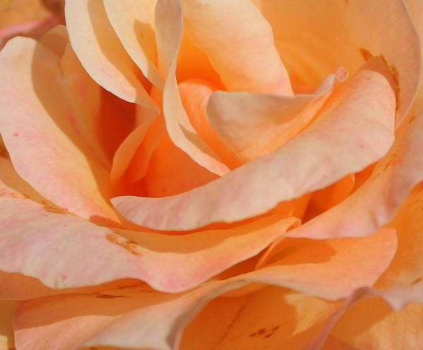 Rose Art Print featuring the photograph Orange Beauty by Sonja Bonitto