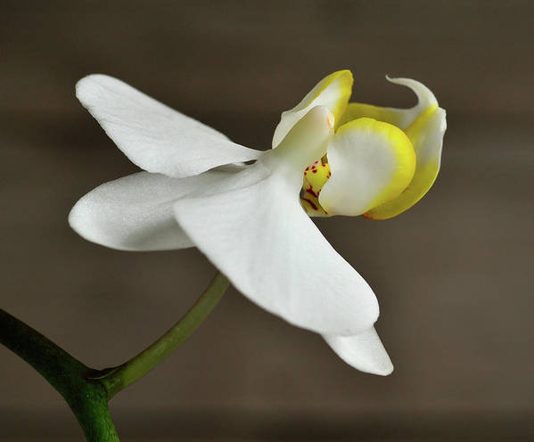 White Art Print featuring the photograph Snow Orchid by John Brink