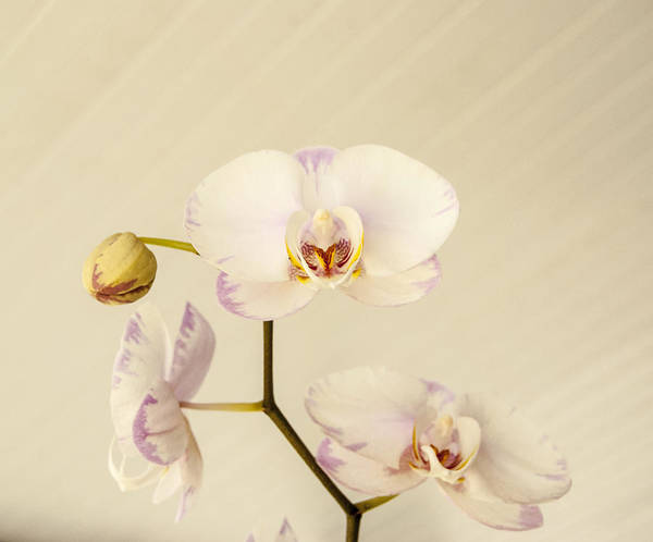 Flower Art Print featuring the photograph Soft And Subtle by Judy Hall-Folde