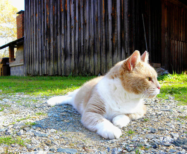 Cat Art Print featuring the photograph Toby Old Mill Cat by Sandi OReilly