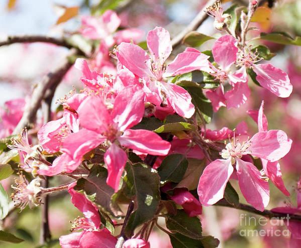 Cherry Art Print featuring the photograph Pink Cherry Tree by Irina Afonskaya
