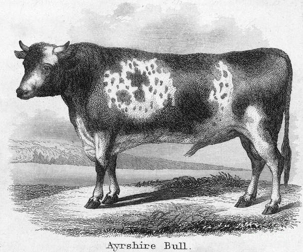19th Century Art Print featuring the photograph Cattle, 19th Century by Granger