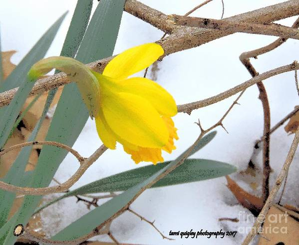 Daffodil Art Print featuring the photograph All Too Soon by Tami Quigley