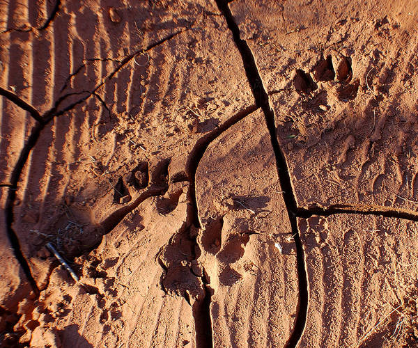 Photography Art Print featuring the photograph Desert Paw Prints by Heather S Huston