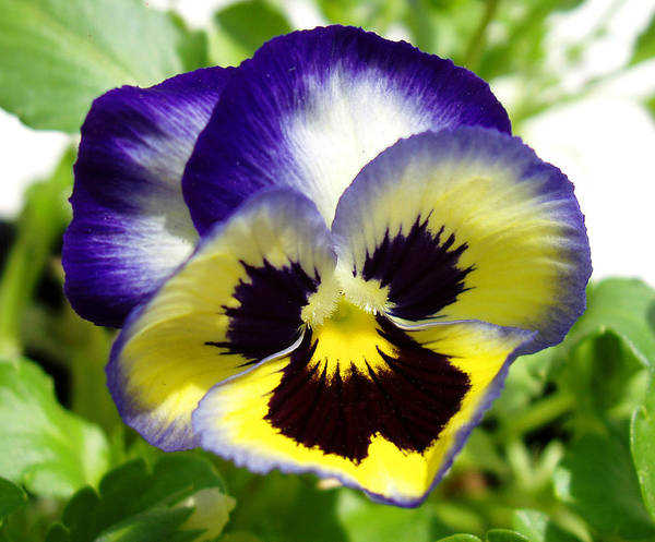 Pansy Art Print featuring the photograph Purple White And Yellow Pansy by Nancy Mueller