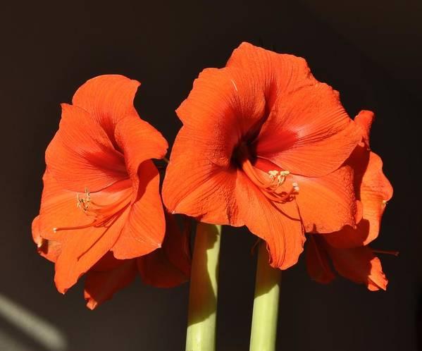 Amaryllis Flower Art Print featuring the photograph Red Amaryllis by Georgeta Blanaru