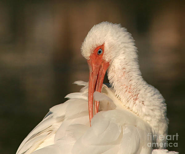 Ibis Art Print featuring the photograph White Ibis Placid Preening by Max Allen