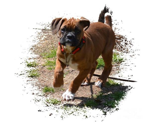 Boxer Puppy 14-1 Art Print featuring the photograph Boxer Puppy 14-1 by Maria Urso