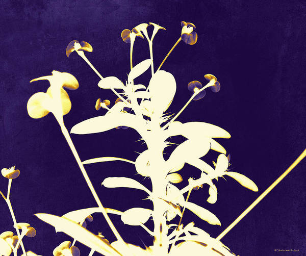 Crown Of Thorns Art Print featuring the photograph Crown Of Thorns - Indigo by Shawna Rowe